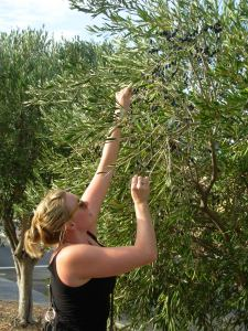 Olive Picking on the Side of the Road