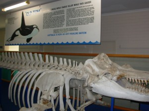 Old Tom - The Amazing Killer whale of Twofold Bay