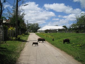 Pigs of Tongatapu
